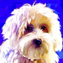Breed:Coton de Tulear II