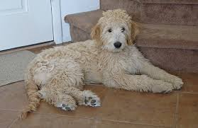 Dog Breed: Poodle/Golden Mix